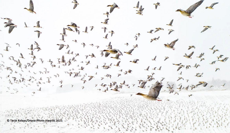 Wildgänse im Flug von Terje Kolaas für die Drone Photo Awards 2021